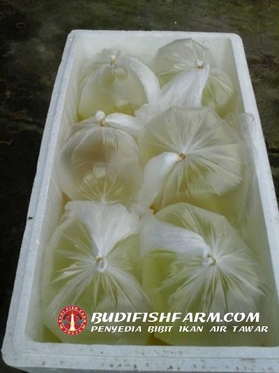 benih bawal larva