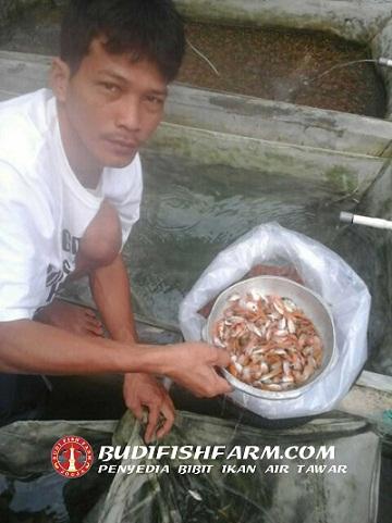 benih ikan nila 2