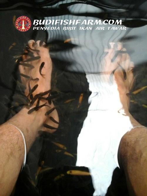 benih ikan terapi-1
