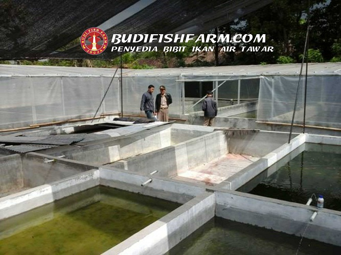 kolam benih ikan-3